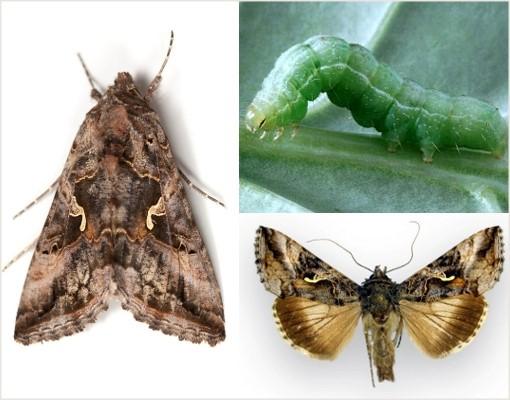 Прожорливые гусеницы выявлены в посевах сельхозкультур в Крыму