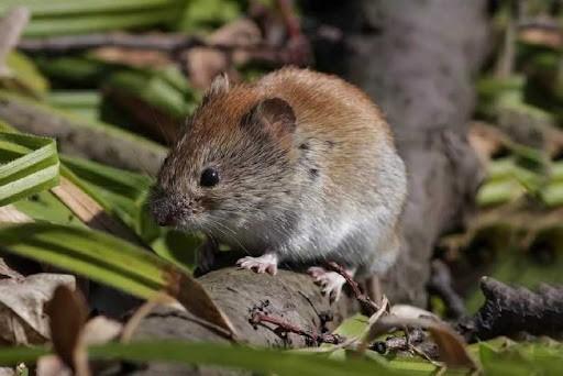 В Крыму снова расплодились грызуны